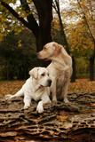 Fototapeta pies - rodowód - Zwierzę domowe