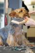 chien - yorkshire -brossage  # 28
