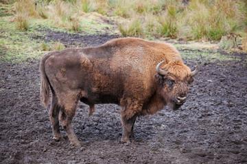 Bison (Bison bonasus) in national park  Belovezhsky dense forest