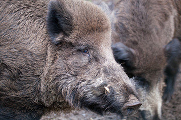 Wild boar (Sus scrofa) in  wild nature in Belovezhsky more