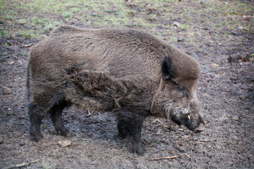 Wild boar  in  wild nature in Belovezhsky more