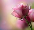 obraz - Rose