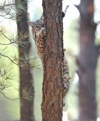 North american bobcat climbing tree, yellowstone nat park, idaho