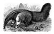 Anteater - Fourmilier