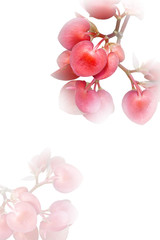 begonia flowers in heart form on white background