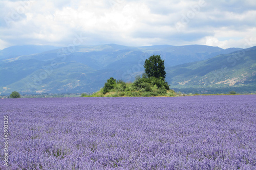 Roes of  lavender plant. herbal landscape of aromatic plant.