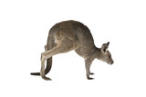 Eastern Grey joey kangaroo hoping on a white background.