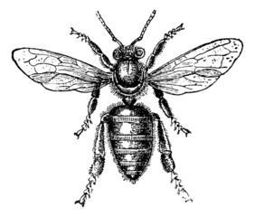 Worker Bee, vintage engraving.