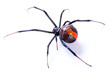 Redback spider, Latrodectus hasselti, on white background - 39041065