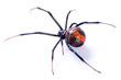 Leinwanddruck Bild - Redback spider, Latrodectus hasselti, on white background