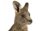 Eastern Grey joey kangaroo on a white background. poster