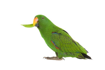 Eclectus Parrot, eating a pea pod, on white background.