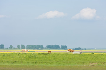 landscape with cows, East Anglia, England