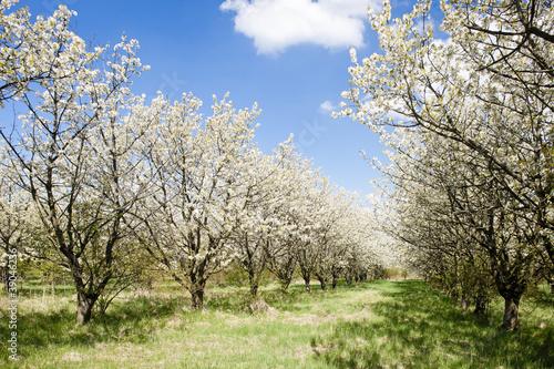 kwitnacy-sad-na-wiosne