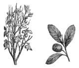 Cranberry branch, Fig.58. Cranberry Fruit, vintage engraving.
