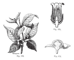 Fig. 170. Belladonna with its leaves, its flowers and fruits. Fi