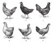 Hens, 1. Houdan chicken. 2. Hen the Arrow. 3. Hen Crevecoeur. 4.
