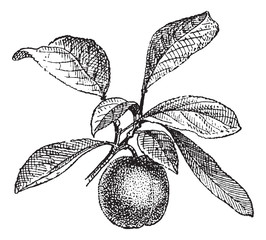 Plum, vintage engraving.