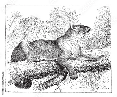 Puma or cougar, vintage engraving.