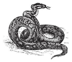 Python vintage engraving