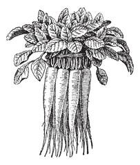 Campanula rapunculus or Rampion Bellflower vintage engraving