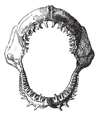 Shark jaw, vintage engraving.