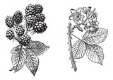 Blackberry flower, Blackberry fruit, vintage engraving.