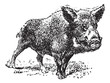 Boar or wild pig, vintage engraving.