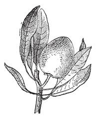 Sapote vintage engraving