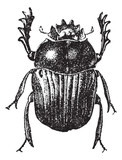 Beetle isolated on white, vintage engraving.