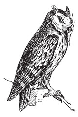 Scops owl perched on branch, vintage engraving.