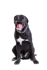 Cane Corso purebred dog