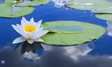 Llily on the lake