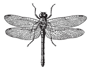 Fig 1. Dragonflies, vintage engraving.
