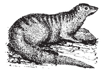 Egyptian Mongoose or Herpestes ichneumon vintage engraving