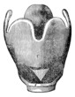 Larynx anatomy, vintage engraving.