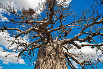 African baobab tree in Kruger National Park, South Africa