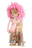 Chihuahua ready for winter