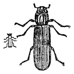 Lyctus beetle, vintage engraving.