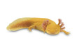 Axolotl, Ambystoma mexicanum, on white background.