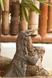 water monitor lizard (varanus salvator poster