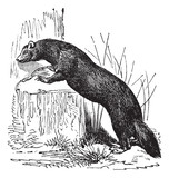 European polecat (Mustela putorius) or black polecat, vintage en poster