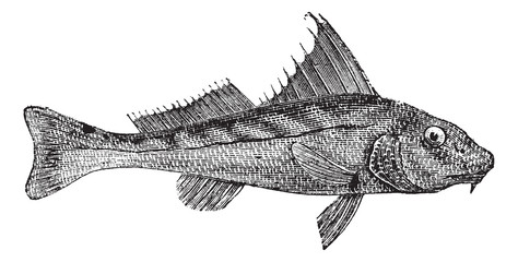 kingcroakers or kingfish, vintage engraving.