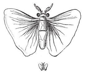 Stylops alterrimus (male), life-size and weight, vintage engravi