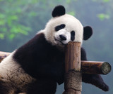Fototapeta azjatycki - bambus - Dziki Ssak