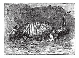 Armadillo has six bands (Dasypus sexcinctus Encoubert or D.), vi