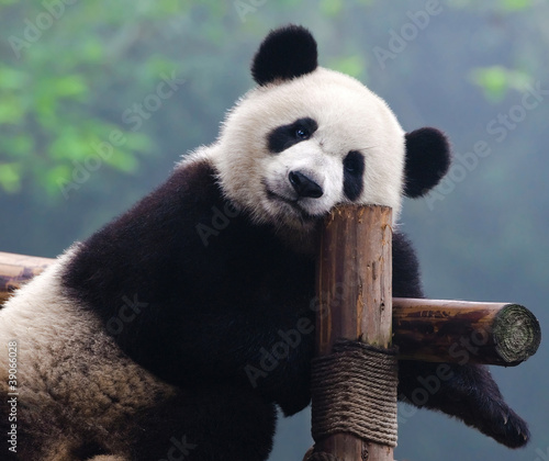 Giant panda bear looking at camera