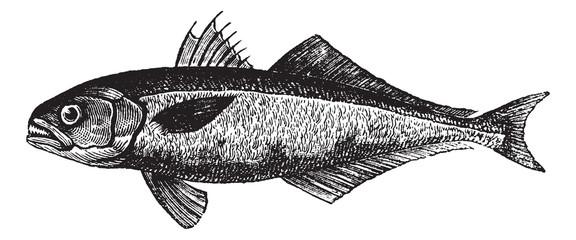 The bluefish (Pomatomus saltatrix) or tailor, vintage engraving.