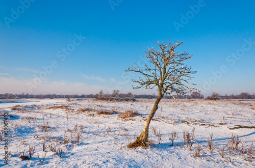 A crooked solitary tree in a snowy field