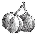 Tomatoes, vintage engraving.